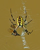 Writing spider (Argiope aurantia) & blue dasher by Vicki's Nature