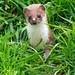 Weasel by Lesley Danford