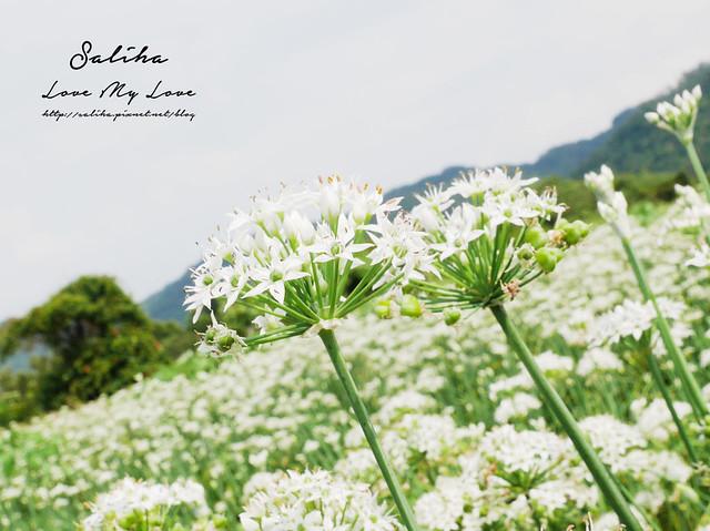 桃園一日遊旅遊景點中新里韭菜花 (7)