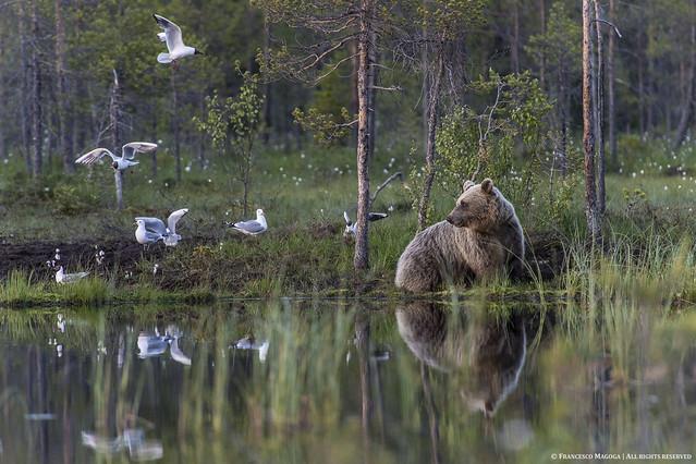 Smiling Finnish bear