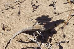 agama, animal, amphibian, soil, reptile, lizard, fauna, agamidae, scaled reptile, wildlife,