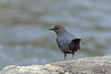 American Dipper, Steamboat Springs, Routt, Colorado