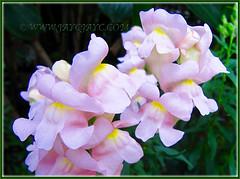 Pastel pink Antirrhinum majus (Common Snapdragon, Garden Snapdragon, Snapdragon, Dragon Flowers), Nov 30 2013