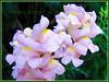 Antirrhinum majus (Common Snapdragon, Garden Snapdragon, Snapdragon, Dragon Flowers))
