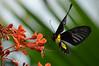 094 - Golden Birdwing