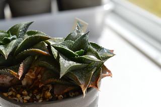 DSC_0520 Haworthia tessellata  Gamoep