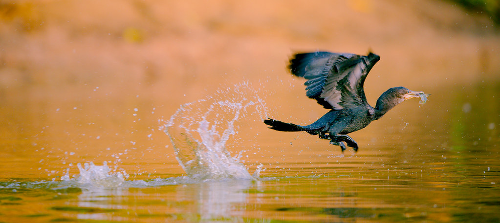Cormorant With Fish_5
