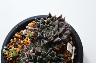 DSC_0792 Haworthia hyb. tenera x major テネラマジョール