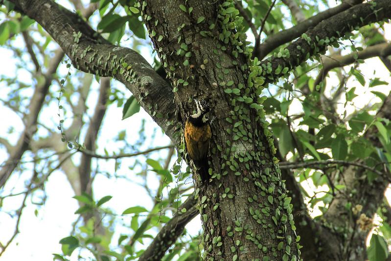 Woodpecker in Singapore