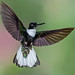 Collared Inca by Andy Morffew