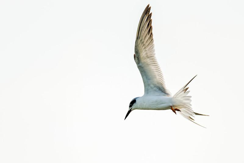 Forster's Tern in flight