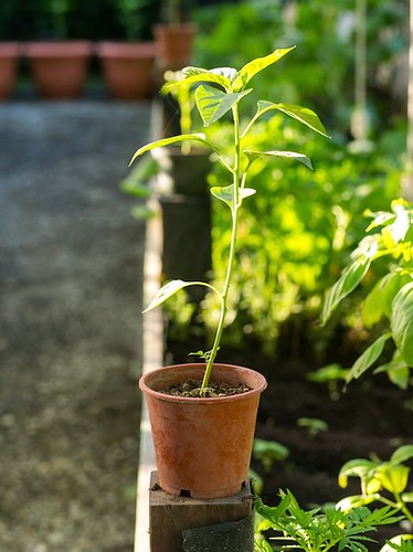 Cauliflower Pesto Recipe Blue Osa Yoga Costa Rica Basil Plant