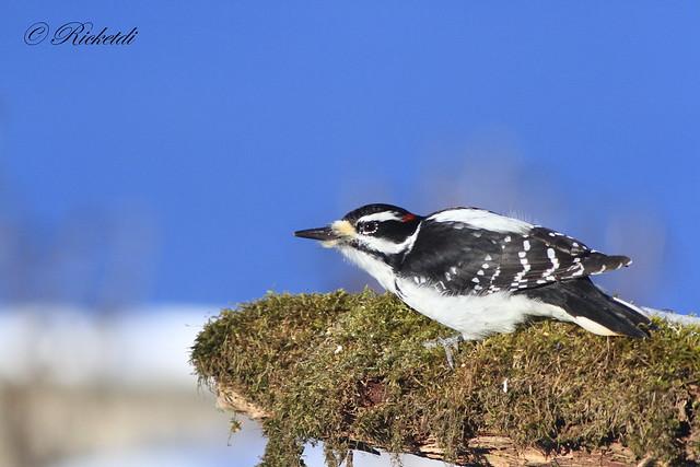 *** Pic chevelu / hairy woodpecker