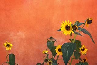 Adobe Sunflowers