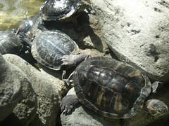 animal, turtle, box turtle, reptile, marine biology, fauna, emydidae, wildlife, tortoise,