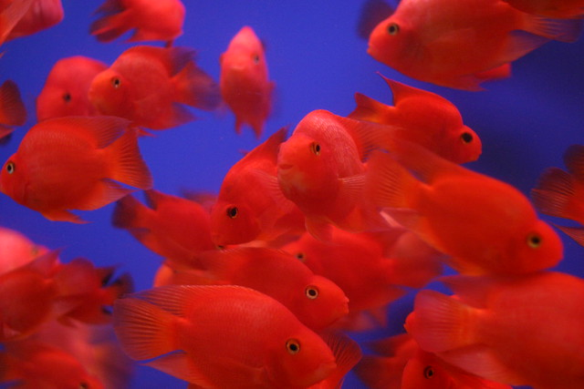 Photo for Red parrot fish