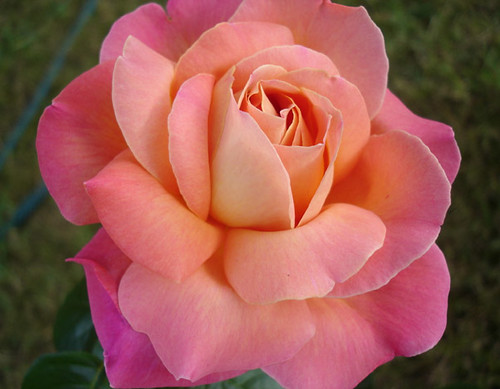 Rose by Celeste33 via Flickr