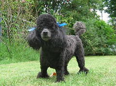 schnoodle(0.0), boykin spaniel(0.0), pumi(0.0), curly coated retriever(0.0), lagotto romagnolo(0.0), black russian terrier(0.0), bouvier des flandres(0.0), kerry blue terrier(0.0), cockapoo(0.0), barbet(0.0), american water spaniel(0.0), toy poodle(1.0), miniature poodle(1.0), standard poodle(1.0), dog breed(1.0), animal(1.0), dog(1.0), pet(1.0), poodle crossbreed(1.0), irish water spaniel(1.0), poodle(1.0), portuguese water dog(1.0), spanish water dog(1.0), carnivoran(1.0),
