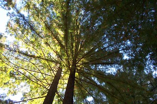 miranda redwoods in the sky