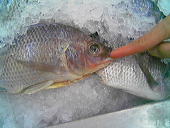tilapia, animal, fish, fish, common rudd, tilapia, milkfish,