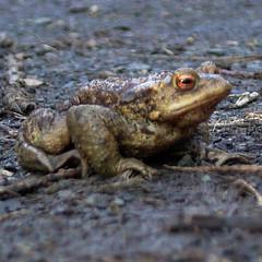 animal, amphibian, toad, frog, fauna, close-up, ranidae, bullfrog, wildlife,