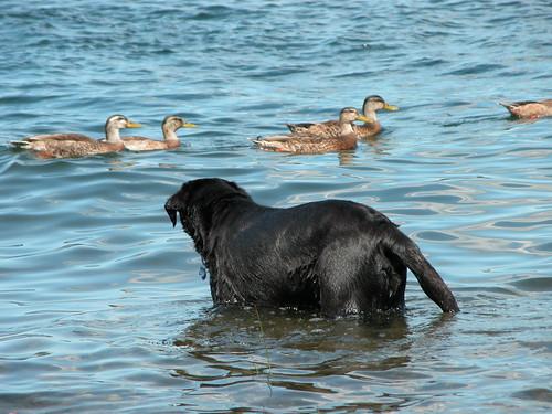 Kona & the ducks
