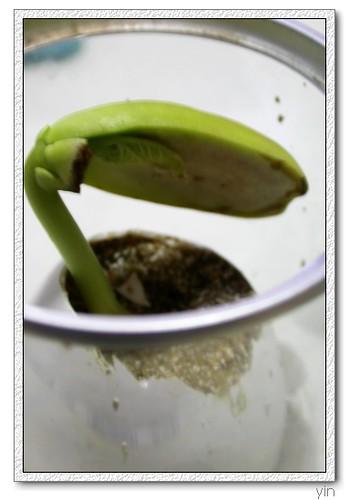 [魔豆第七天]少了一半種子的魔豆,其實裡面已經開始冒出芽心了