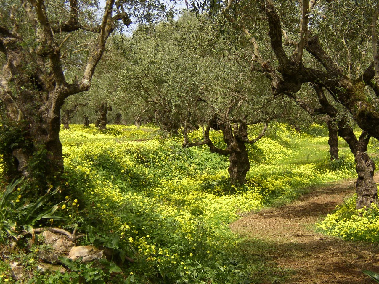 Spring Olive Grove Zakynthos Greece Flickr Photo Sharing
