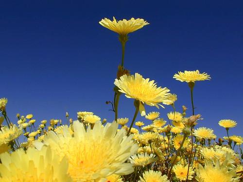Desert Dandelion - 無料写真検索fotoq