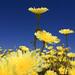 Desert Dandelion by Dawn Endico