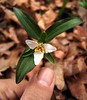 Trillium pusillum - Photo (c) zen Sutherland, some rights reserved (CC BY-NC-SA)