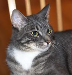 burmilla(0.0), american shorthair(0.0), egyptian mau(0.0), korat(0.0), russian blue(0.0), animal(1.0), small to medium-sized cats(1.0), pet(1.0), european shorthair(1.0), chartreux(1.0), cat(1.0), carnivoran(1.0), whiskers(1.0), domestic short-haired cat(1.0),