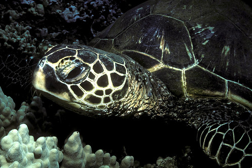 Green SeaTurtle - Maui, Hawaiian Islands