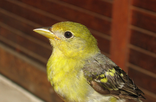 western-tanager-female