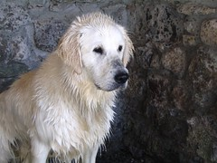 goldendoodle(0.0), golden retriever(0.0), dog breed(1.0), animal(1.0), dog(1.0), pet(1.0), maremma sheepdog(1.0), slovak cuvac(1.0), retriever(1.0), carnivoran(1.0),
