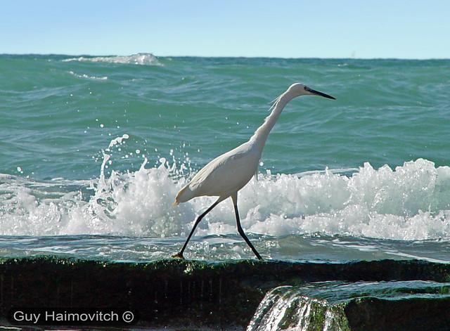 Little Egret (Egretta garzetta) לבנית קטנה
