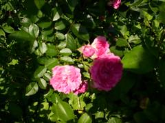 rosa rubiginosa(0.0), rosa rugosa(0.0), rosa wichuraiana(1.0), garden roses(1.0), rosa 㗠centifolia(1.0), floribunda(1.0), flower(1.0), rosa gallica(1.0), plant(1.0), flora(1.0), peony(1.0), petal(1.0),