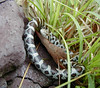 "<a href=""http://www.flickr.com/photos/usonian/163585155/"">Photo of Lampropeltis triangulum by Andy Chase</a>"