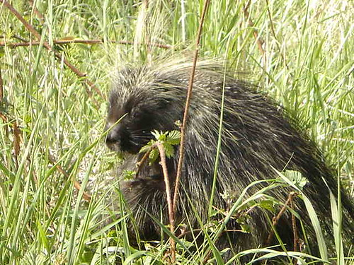 Porcupine With the Munchies
