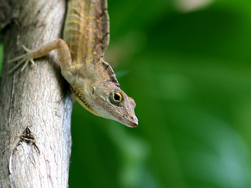Cuban Brown Anole, no. 6
