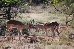 herd(0.0), kudu(0.0), pronghorn(0.0), animal(1.0), antelope(1.0), deer(1.0), springbok(1.0), fauna(1.0), white-tailed deer(1.0), impala(1.0), savanna(1.0), safari(1.0), gazelle(1.0), wildlife(1.0),
