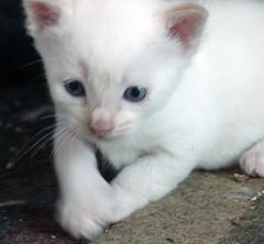 domestic long-haired cat(0.0), animal(1.0), turkish van(1.0), kitten(1.0), khao manee(1.0), small to medium-sized cats(1.0), pet(1.0), burmilla(1.0), european shorthair(1.0), turkish angora(1.0), ragdoll(1.0), cat(1.0), carnivoran(1.0), whiskers(1.0), balinese(1.0), domestic short-haired cat(1.0),