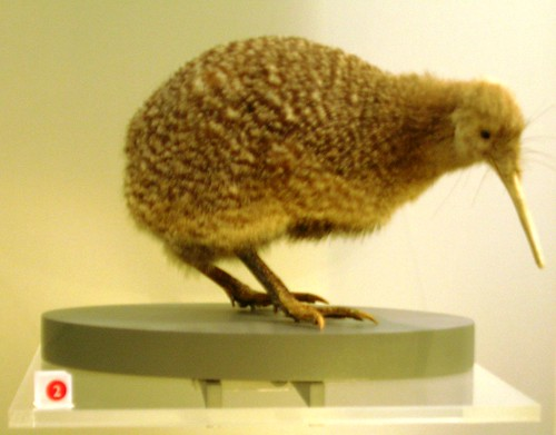 Little spotted kiwi, Apteryx owenii by brewbooks