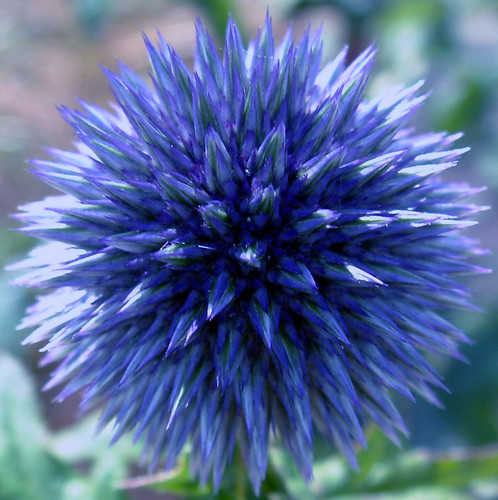 irish summer globe thistle