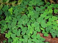 flower(0.0), centella(0.0), annual plant(1.0), shrub(1.0), trifolieae(1.0), clover(1.0), leaf(1.0), plant(1.0), herb(1.0), green(1.0), groundcover(1.0),