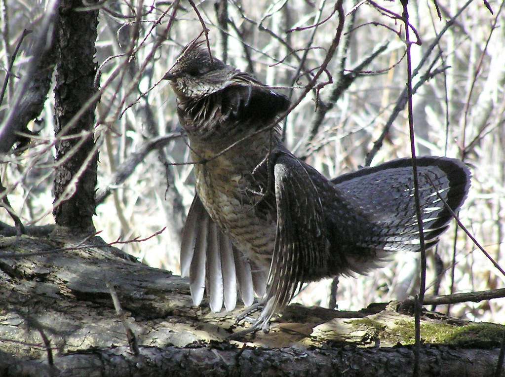 Ruffed Grouse drumming
