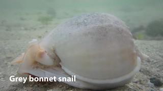 Grey bonnet snail (Phalium glaucum)