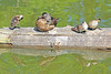Wood Duck and Ducklings 15-0521-3700 by digitalmarbles