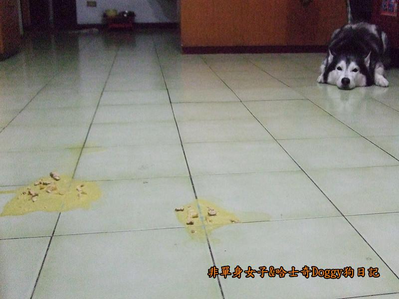 2011哈士奇doggy做壞事13