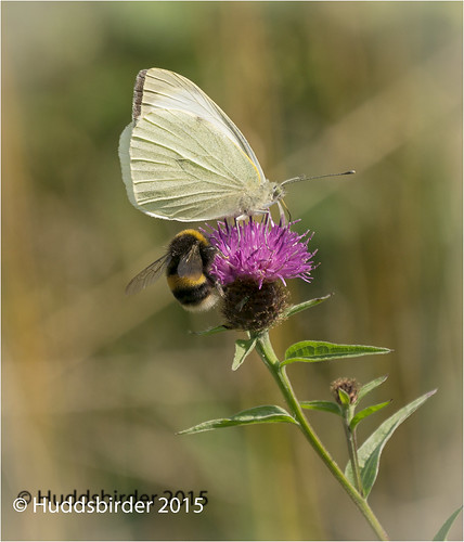 Large White Butterfly and Bee